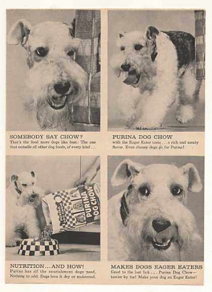 Wire Fox Terrier Purina Dog Chow 4 Photo (1961)