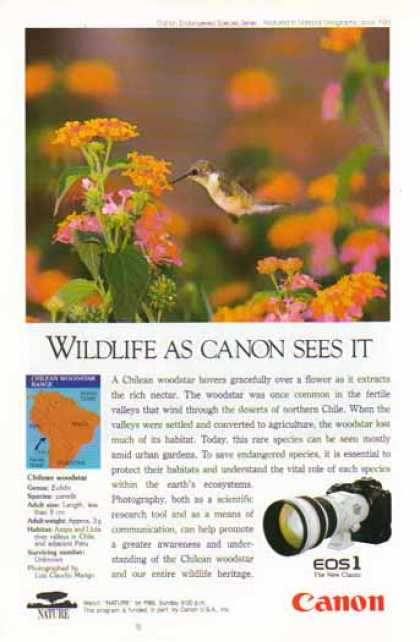 Canon EOS Camera and EF Lens – Chilean Woodstar Bird (1992)