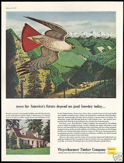 Red Tailed Hawk Weyerhaeuser Timber Company (1957)