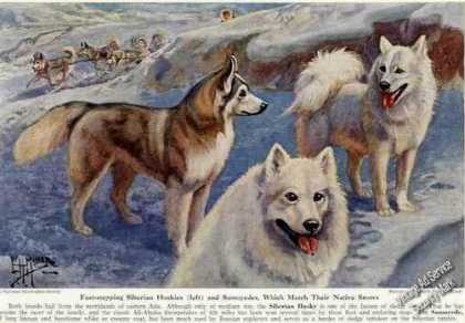 Siberian Husky &amp; Samoyedes Dogs Magazine Print Art (1941)