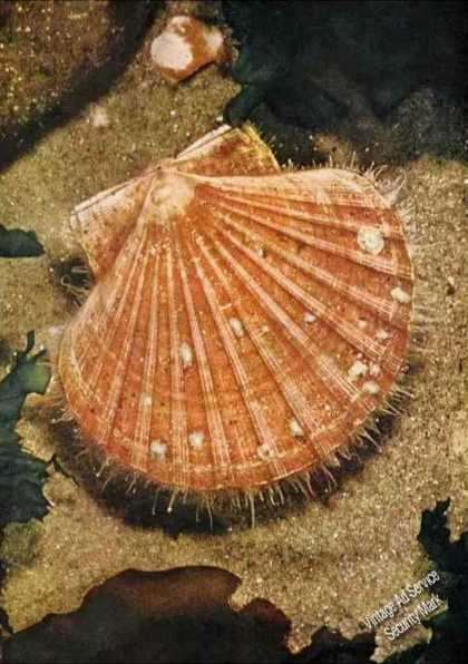 How Scallop Shell Became Trademark Article (1961)