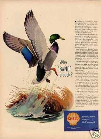 Shell Ad Duck Lynn Bogue Hunt Art (1948)