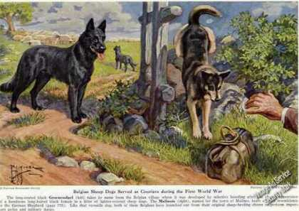 Belgian Sheep Dogs Rare Magazine Print Art (1941)