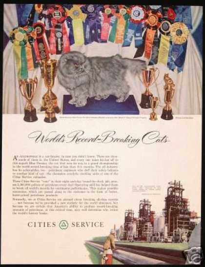Champion Blue Persian Cat Photo Cities Service (1951)