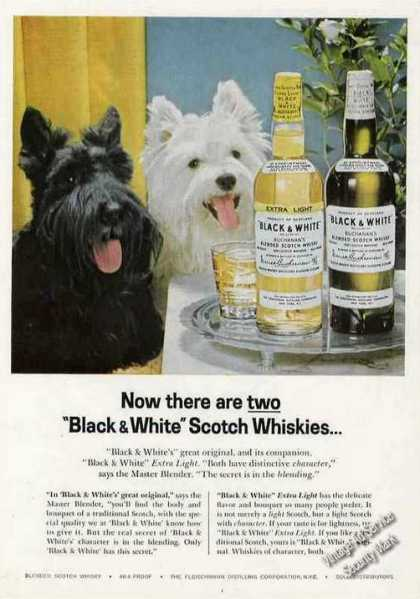 B&w Scotch Terrier & Westie Rare Large Color (1953)