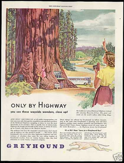 Greyhound Bus California Redwood Highway Art (1946)