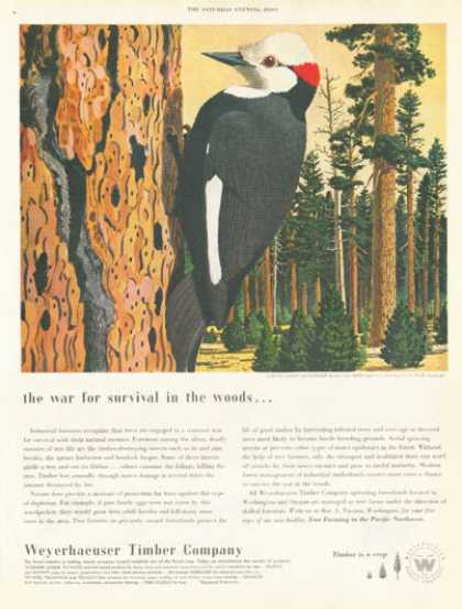 Weyerhaeuser Timber Co. White Headed Woodpecker (1952)