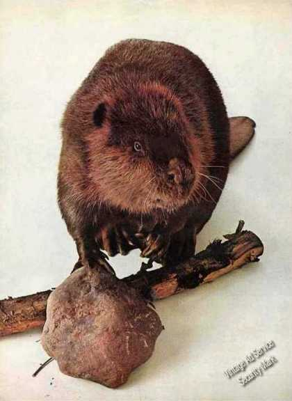 Nice Beaver Photo Collectible Magazine Feature (1965)